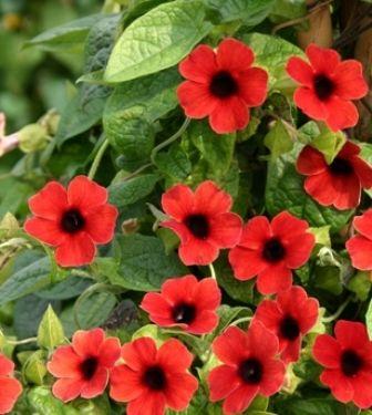 thunbergia alata semillas | Venta de plantas mayoreo y menudeo: fotos de las que tengo ...