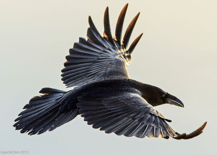 midnight feathers caught on the wind of screams and wings take flight © JG Farmer 2015