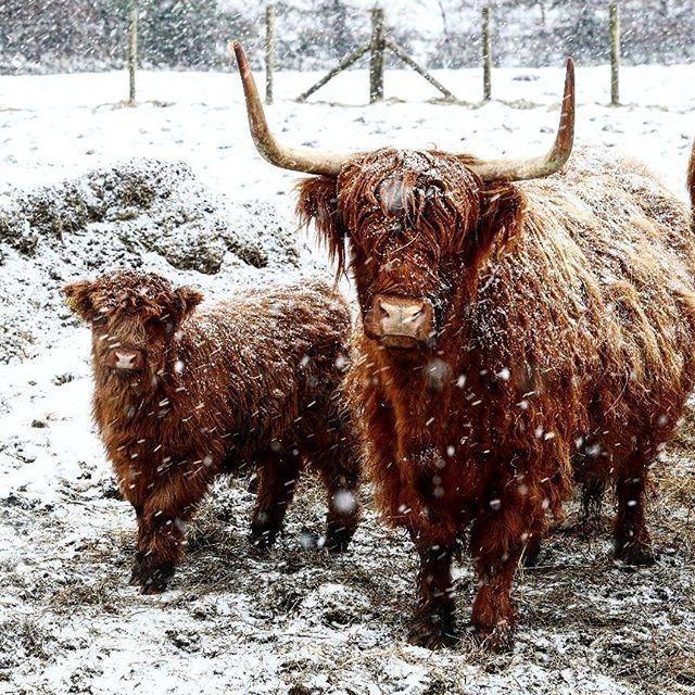 El ganado de durante una ventisca de nieve. El clima helado y las fuertes nevadas azotan gran parte del Reino Unido en Durham Inglaterra. Las fuertes nevadas causaron interrupciones en el viaje por la mañana.  Martes 6 de febrero de 2018.  PA a través de AP / Owen Humphreys  #Snow #Cows #animals #pictures