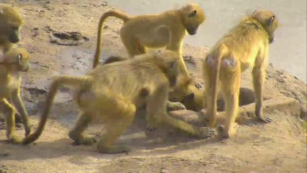 Baboons at Nkorho - May 15 2016 - 2:29pm | Africam The clowns of the bushveld :)