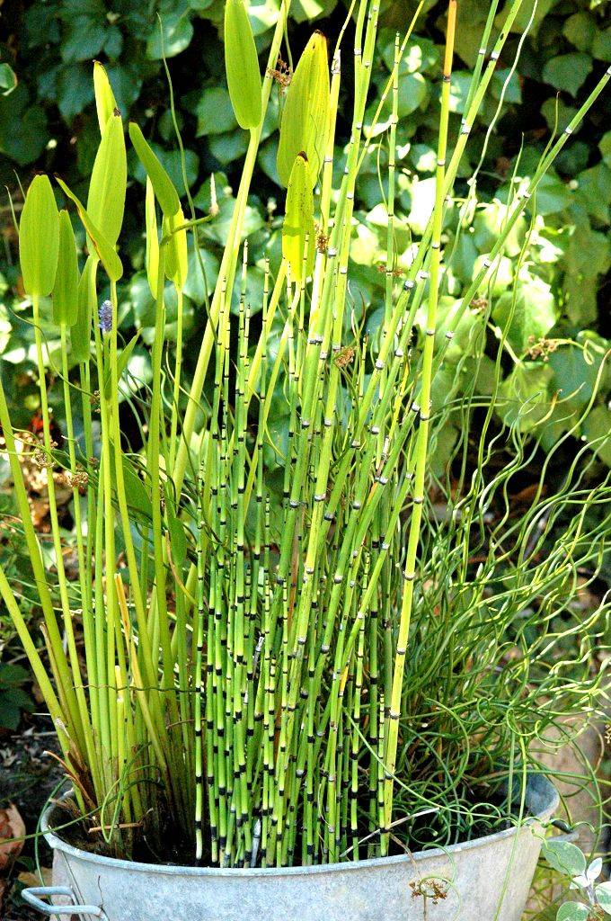 Equisetum hyemale prêle d'hiver plante vivace feuillage persistant(fiche d'identité, variétés, plantation, culture)