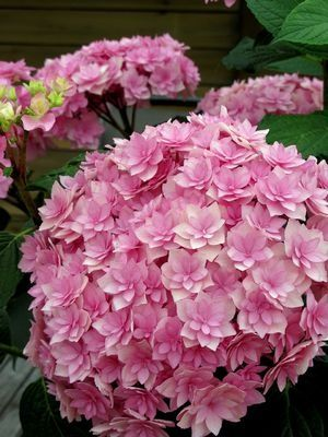 Gorgeous Flowers Garden & Love — Hydrangea 'Double De Flowers Garden Love