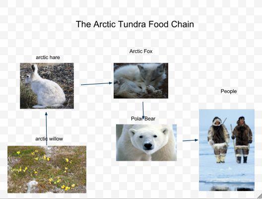 Arctic Fox Food Chain ...