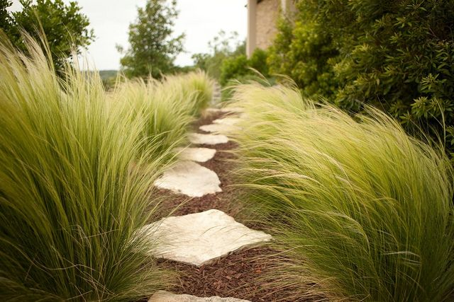 Mexican Feather Grass (Nassella tenuissima) - Wispy green blades form clumps reaching 2 feet tall and wide. This grass found in Texas, New Mexico, and Mexico develops blond summer flower heads