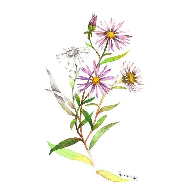 좀개미취 깊은산계곡에 피어나는 자주빛 여러해살이풀 #illustration #일러스트 #drawing #watercolor #수채화 #pencil #wildflowers #야생화 #좀개미취 #자주빛 #꽃