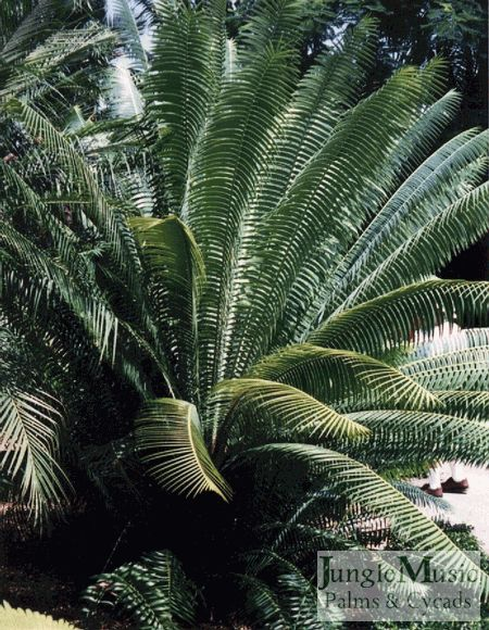 Dioon mejiae.  This is a very tropical looking Mexican/Guatemalan cycad.  They are great garden plants, but in inland areas they need to be protected from the sun.