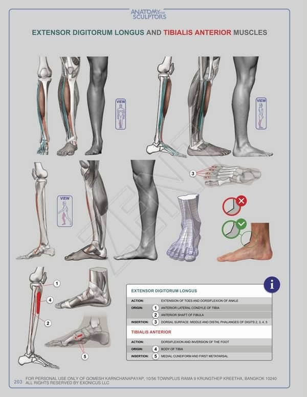81 best foot anatomy studies images on Pinterest | Legs, Drawing ...