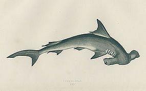 pictures of hammerhead shark drawings | Hammerhead Shark Antique Print Wood Engraving