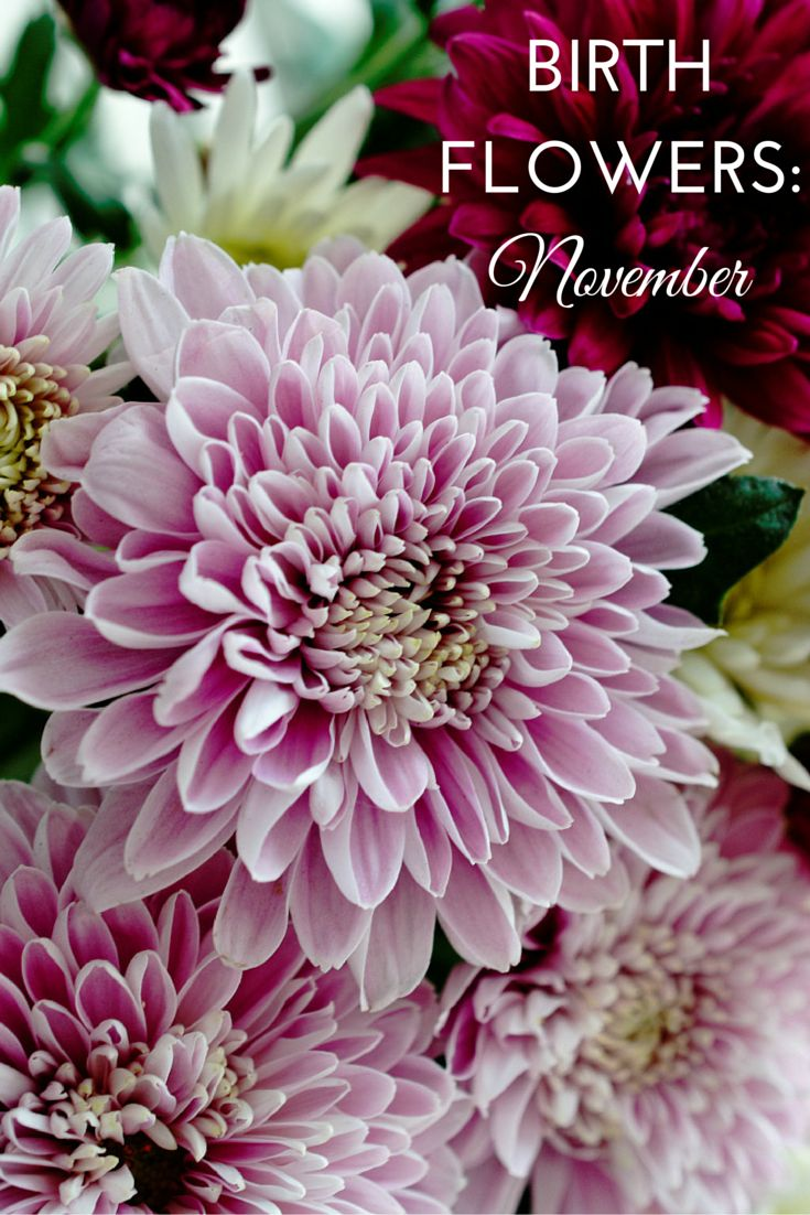 Flowers are a popular birthday gift, choosing the recipient's birth month flower makes it more personal. Take a look at the birth flowers for November.