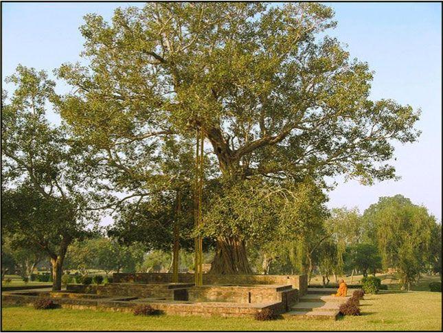 Albero della Bodhi, presso il Boschetto di Jeta, luogo dove il Buddha proclamò molti dei suoi discorsi.