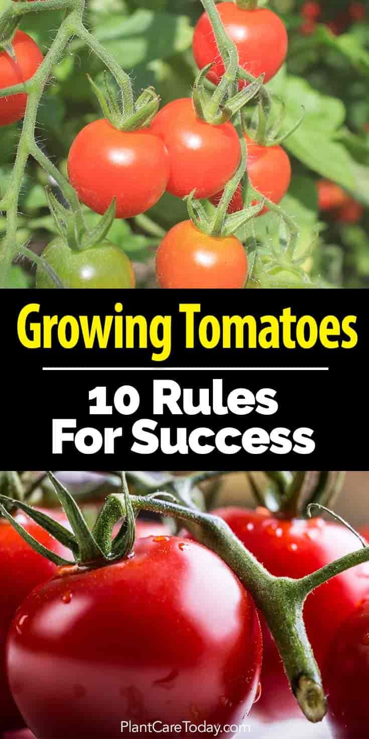 """When planting tomato plants do you follow any """"rules""""? Here Are 10 smart tips and techniques successful tomato gardeners follow [LEARN MORE]"""