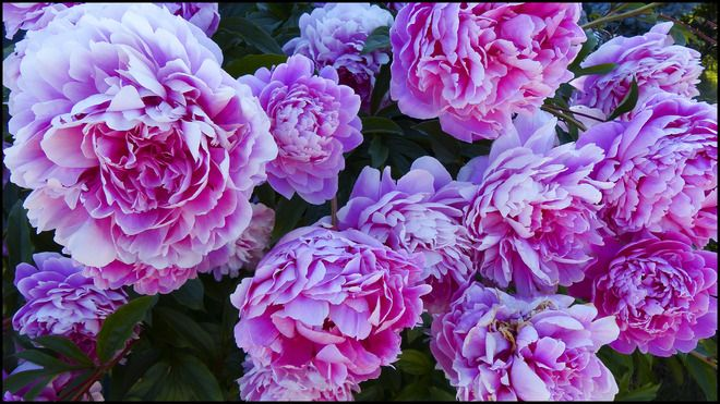 pianese flowers - Google Search