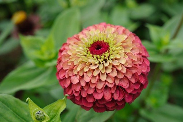Zinnia elegans 'Queen Red Lime' and simple care instructions