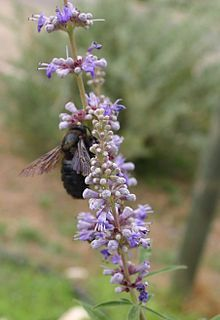 """The Chaste tree (Vitex agnus-castus). The herbal history and lore of the chaste tree is fascinating. Early monks based their belief that the berries would inhibit sexual desire on the testimony of Dioscorides, a famous first-century BCE Greek herbalist whose De Materia Medica was the first systematic pharmacopoeia. He reported that """"when a tea of this plant is drunk, [agnus-castus] curbs the urge to cohabit..."""" More in the June 7 entry of The Book of Days"""