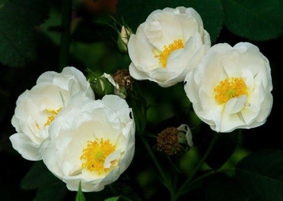 Rosa Alba, the white rose of the house of York