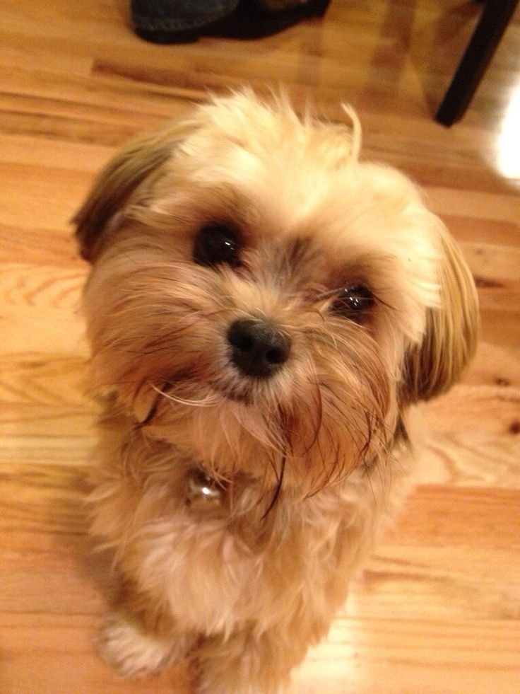 what does a shih tzu dog look like sweet angel my baby shorkie furry friends pinterest sweet babies and angel 9901