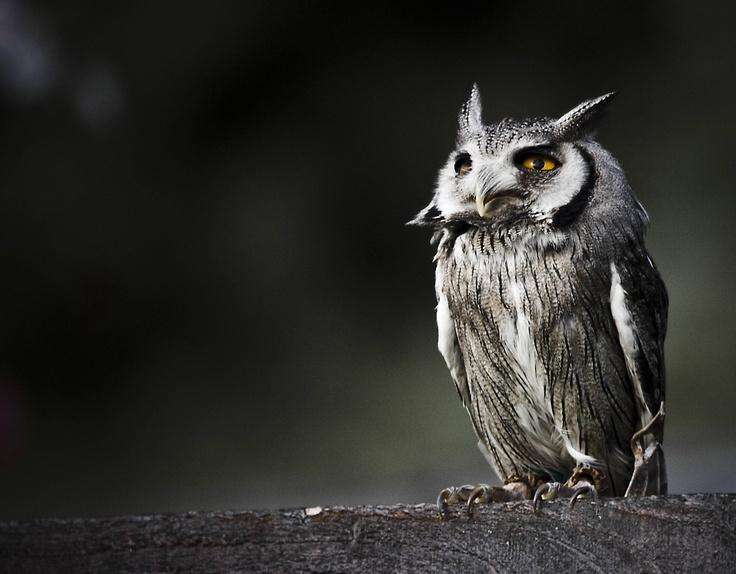 *Animal Stuff, Animal Kingdom, Horns Owls, Owlici Three, Owls Photographers, Scops Owls, Birds, Owls Beautiful, Beautiful Owls