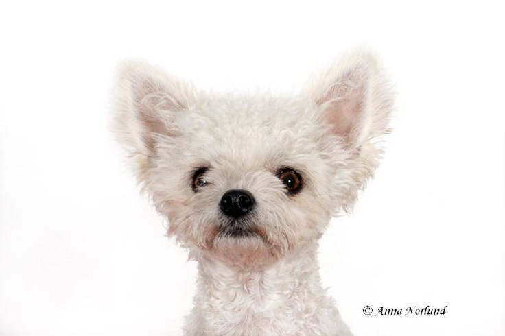 Eda, blandras Bichon Frisé och Chihuahua | Tema Hund & Katt | Aftonbladet