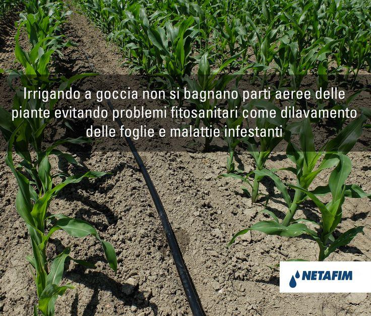Migliora la qualità delle tue colture irrigando a #goccia