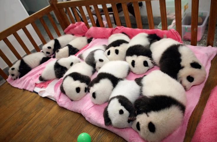 12 giant panda cubs lie in a crib at the Chengdu Research Base in China.