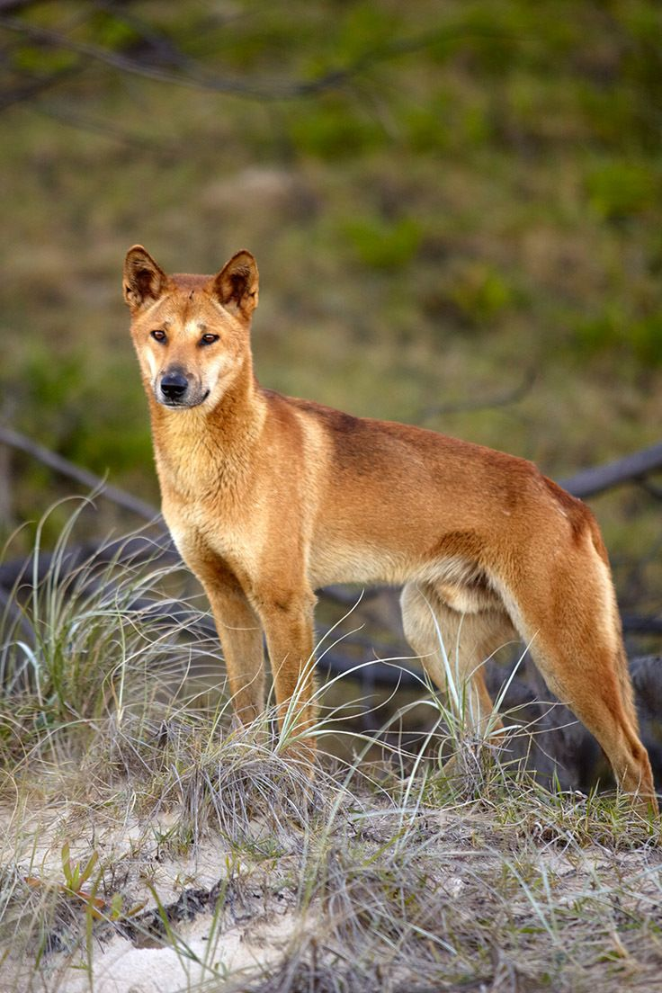 Around 300 dingos live on Fraser Island in Queensland, Australia. At more than 80 miles in length, it's the longest sandbank in the world // photo by Matt Munro #dingo #queensland #fraserisland #australia