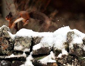 frio fim de semana de tempo Reino Unido: Um esquilo vermelho corre ao longo de uma neve cobriu a parede em Northumberland