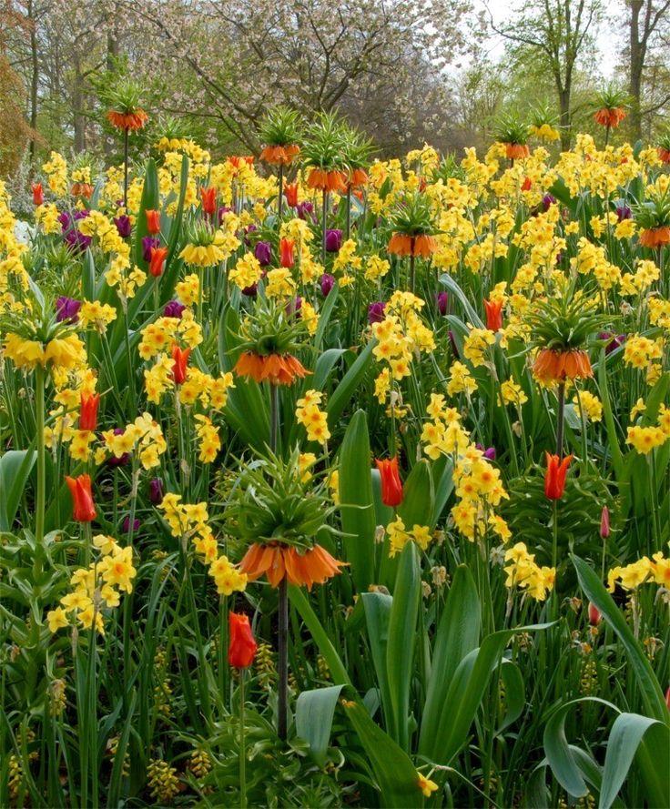 Fritillaria imperialis rubra maxima, lutea maxima, purple tulips and daffodils - what a sight!