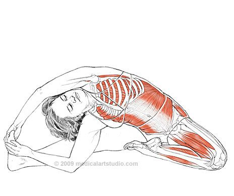Parivrtta Janu Sirsasana - Leslie Kaminoff Yoga Anatomy Illustrated by Sharon Ellis