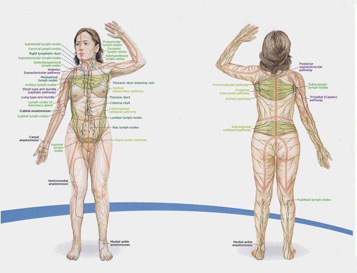 Лимфатическая система и лимфостимуляция