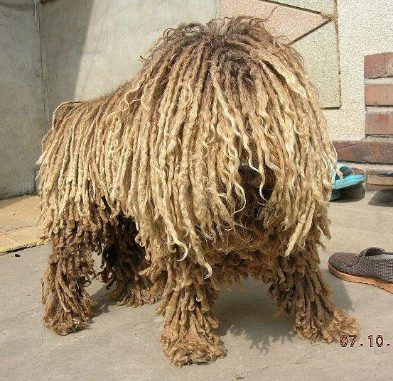 Dogs That Look Like Dust Mops