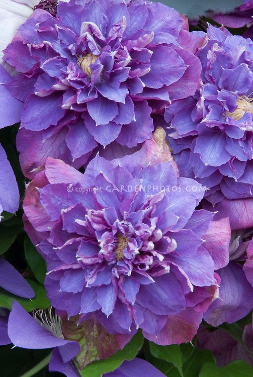 Clematis Diamantina  double blue clematis flowered vine, I love blue flowers in a garden, here you will find every blue flower with photos
