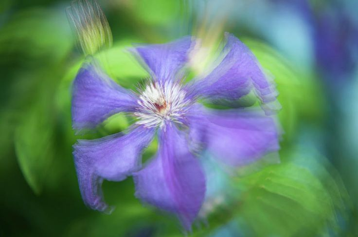 Ethereal Vibrations. Purple Clematis Flower by Jenny Rainbow. Multi-exposure (3 frames in camera) macro photography of the purple Clematis flower makes a delightful abstract vibrancy and impressionistic feel.  Tender floral art for spa center,  bedroom decor or office walls.  Available as framed, metal, acrylic prints or canvas by different sizes suitable for your living space. To buy print please click on image. Order online, delivery, 30 days money back guaranty.