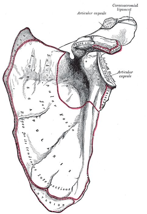 The scapula, also known as the shoulder bone, is a triangle shaped bone located in the shoulder girdle.  http://www.learnbones.com/shoulder-bones-anatomy/