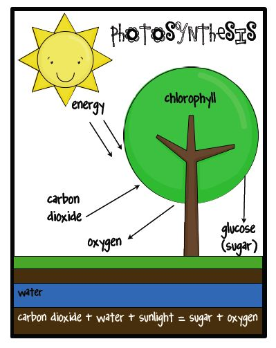 91 best photosynthesis images on pinterest life science populations plants critters and food websone extra degree ccuart Gallery