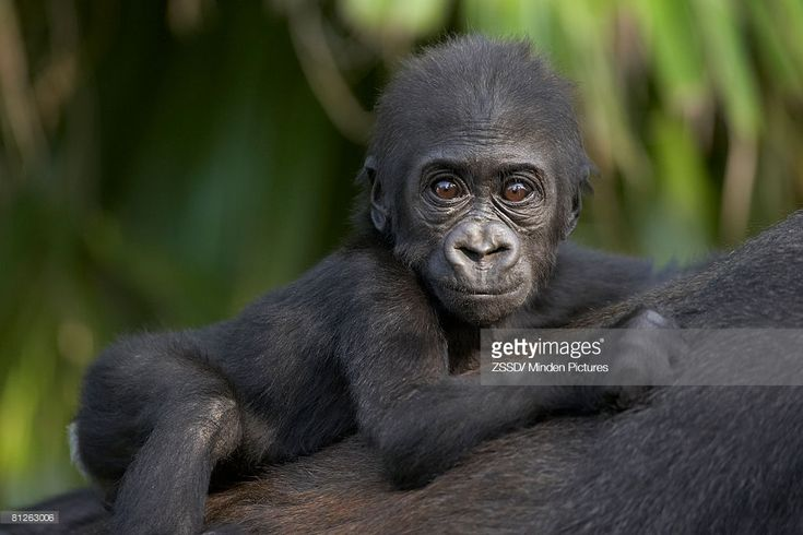Stock Photo : Western Lowland Gorilla (Gorilla gorilla gorilla) baby clinging to mother's back, critically endangered, native to Africa