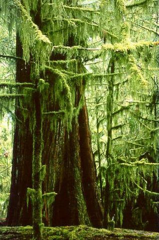 Ancient Red Cedars (the biggest trees are 800 years old) in Cathedral Grove, Vancouver Island, BC, Canada