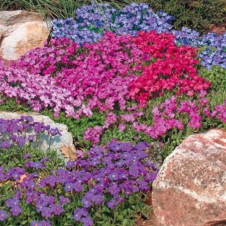 Почвокровные цветочки: обриета, арабис, очитки и : пр.