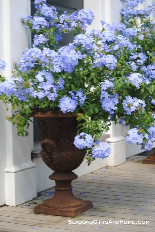 Plumbago is a rewarding plant to grow because it flourishes in an urn, like this one, or in a garden.