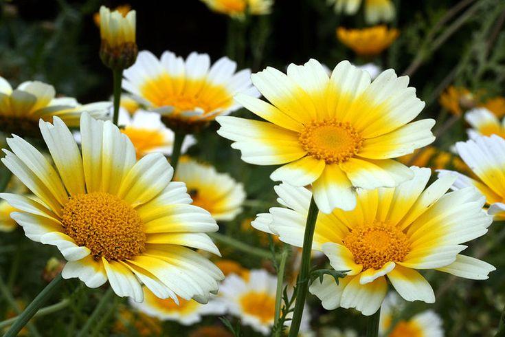 Chrysanthemum coronarium - Hortipedia