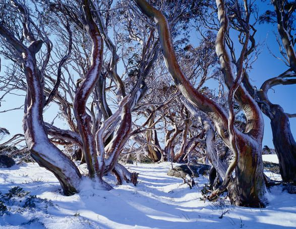 """""""Charlotte Pass, New South Wales  Snow gums"""" Belongs on my Australian board too. These gums are just so beautiful. S."""