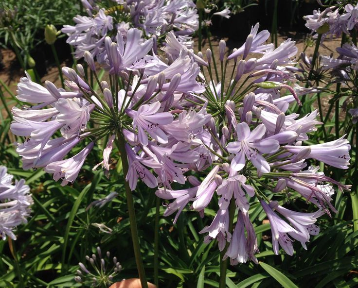 Agapanthus Lady Luck bred and originating from CND Nursery