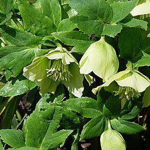 Gärtnerei Naturwuchs -- Helleborus - Christrosen -- Helleborus caucasicus…