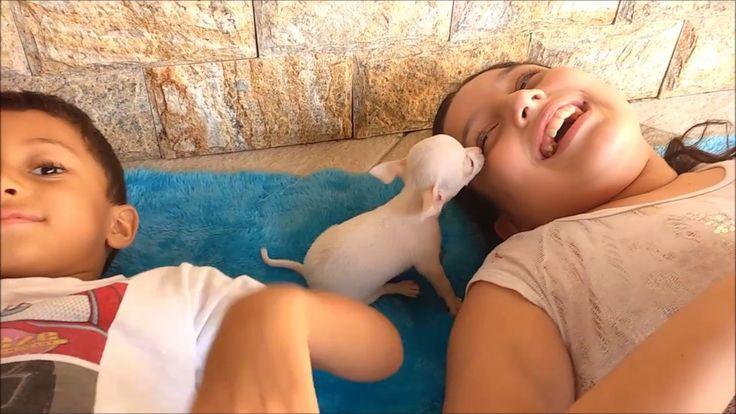 Menor cão do mundo chihuahua Rayssa x Davi