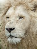 Great portrait of an African lion, Inkwenkwezi Private Game Reserve, East London, South Africa  (photo by Cindy Miller Hopkins, Danita Delimont Photography, June 2011)