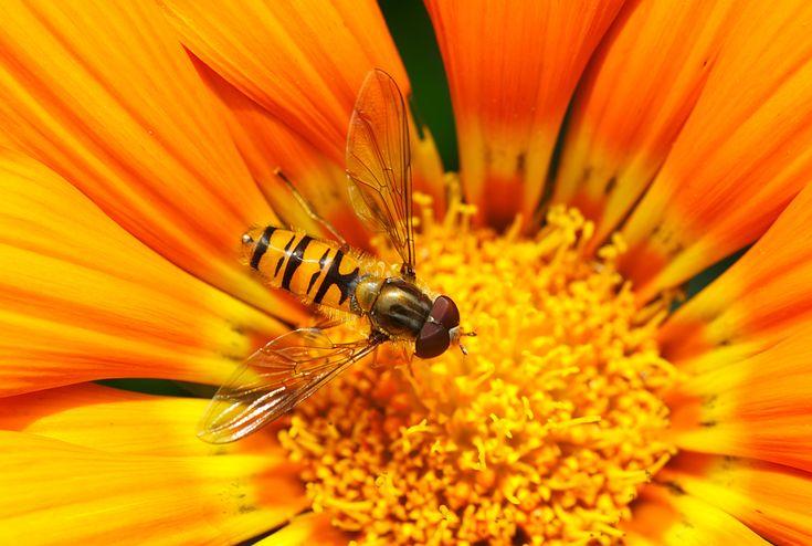 """""""La biodiversità costituisce un segnale: se in un prato che state attraversando ci sono molti fiori, molte api e farfalle sulle loro corolle, se le bisce strisciano tra le erbe e le allodole cantano nel cielo, potete essere certi che quel luogo è salubre, e che, per sovrappiù, contribuisce alla nostra felicità suggerendoci che l'uomo non è ancora solo nel mondo"""" Giorgio Celli, su Il Sole 24 ore, 2010. #miele #apicoltura #natura"""