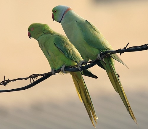 African Ring-Necked Parakeet