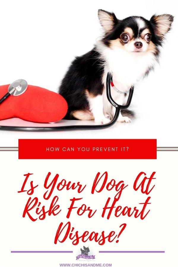 Is Your Chihuahua At Risk Of Heart Disease Chihuahua Heart