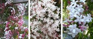 Enredadera Jazmin con flores blancas