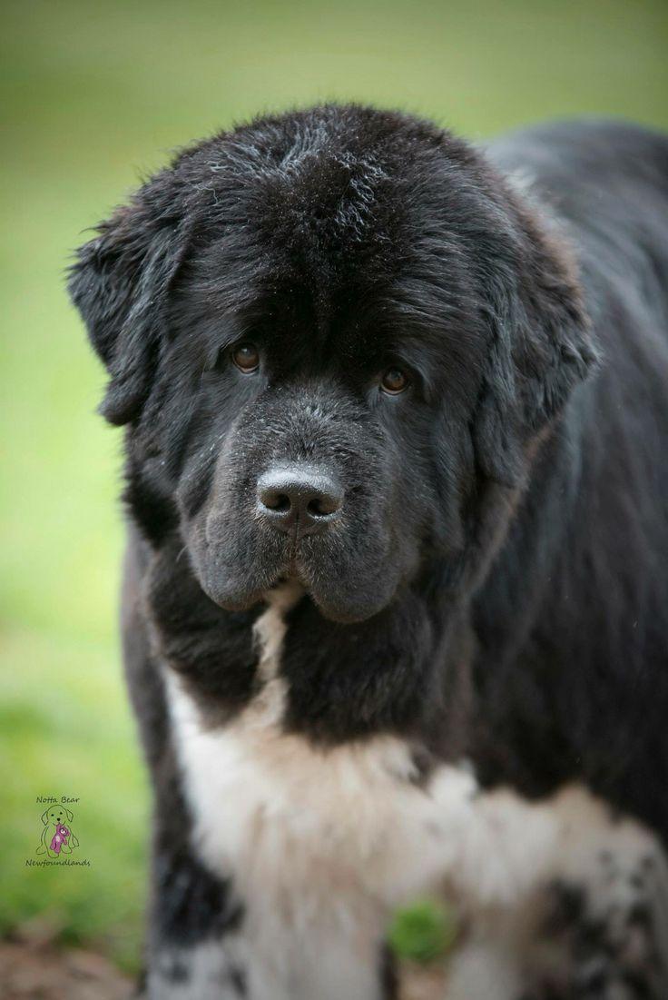 35 very beautiful newfoundland dog pictures - Lovely Shellbea The Landseer Newfoundland