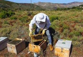 Ορεινή Μέλισσα: Φτιάχνοντας παραφυάδες με τη μέθοδο Μίλερ: Κορυφαία μέθοδος!